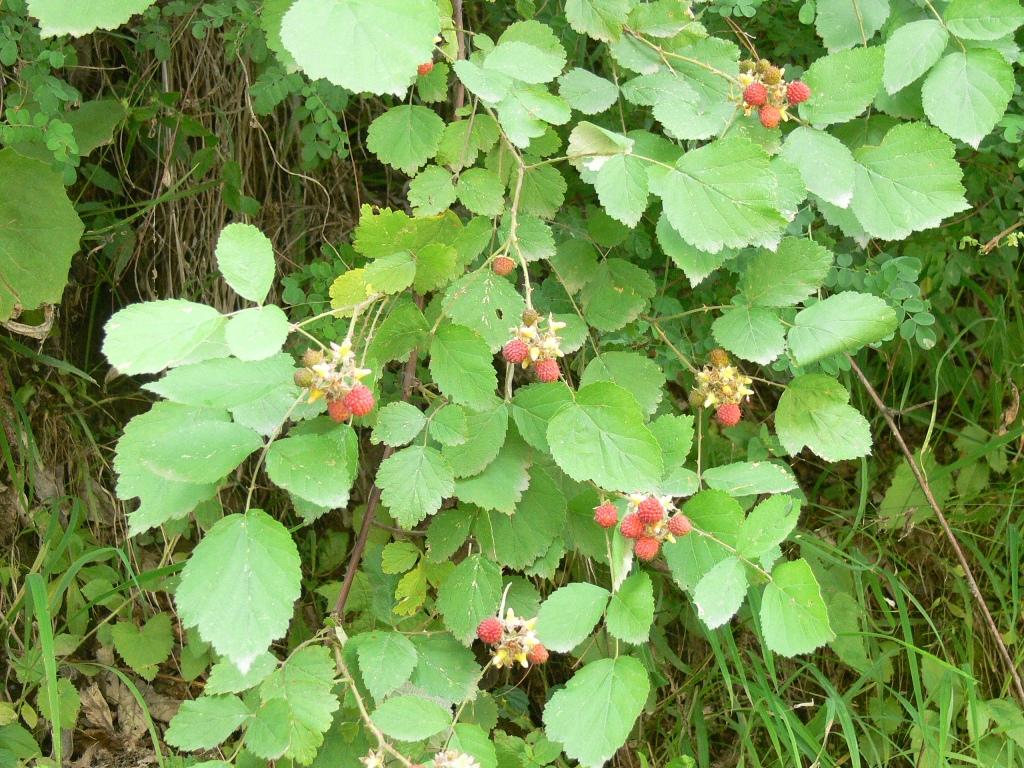 /wp-content/uploads/2020/10/Rubus%20foliolosus.jpg
