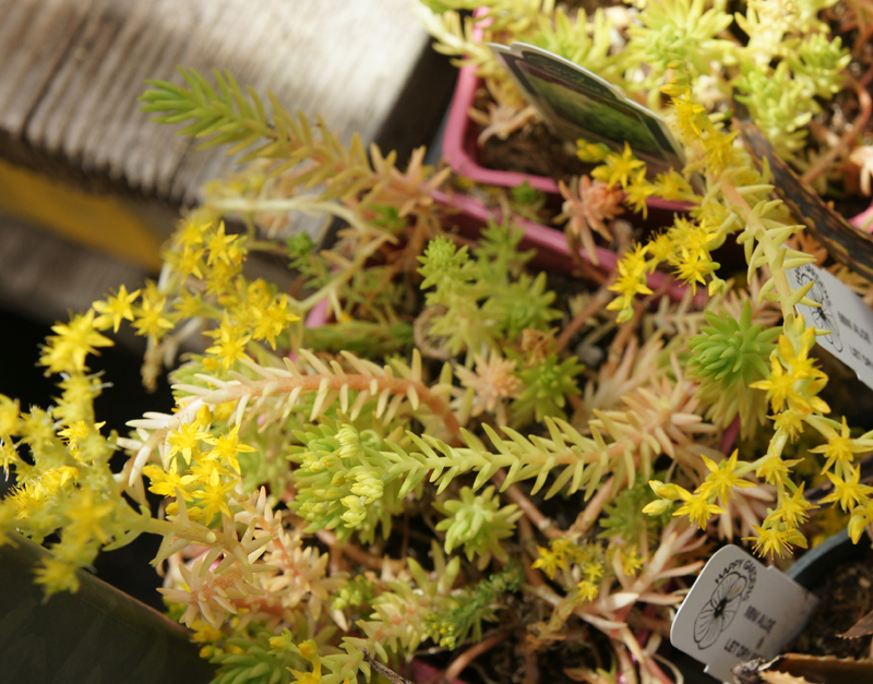 /wp-content/uploads/2020/10/Sedum-rupestre-lemon%20coral-Summerwinds%20nursery%20SunnyvaleDSC07745-California-1.jpg