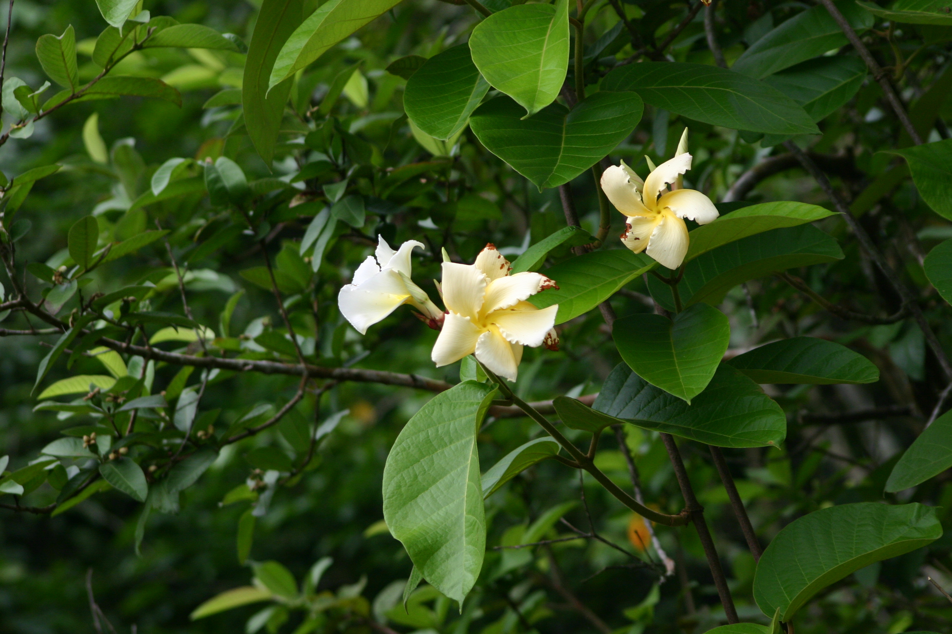 /wp-content/uploads/2020/10/Shrub%20from%20Periyar%20Tiger%20Reserve%20-Apocynaceae-.JPG