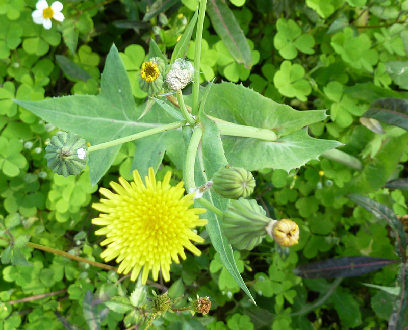 /wp-content/uploads/2020/10/Sonchus-oleraceous-Herbal-gdn-P1060114-Delhi-1.jpg