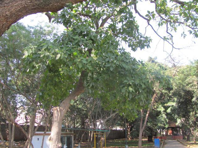 /wp-content/uploads/2020/10/South%20Indian%20Mahua%20Tree%20-%20Canopy.jpg