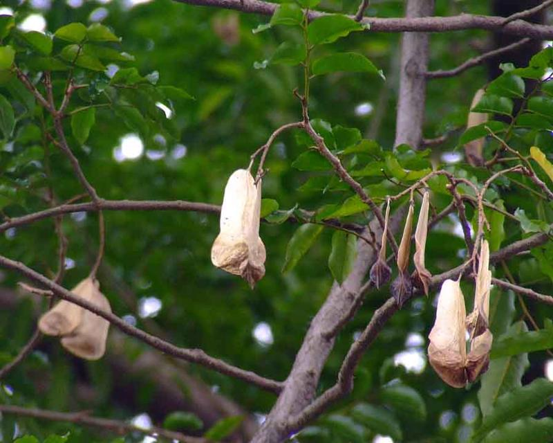 /wp-content/uploads/2020/10/Stocking%20tree%20pod%20Myroxylon%20balsamum%20Fabaceae%202010_0822_Hanging_garden%200086%20e.jpg