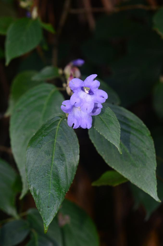 /wp-content/uploads/2020/10/Strobilanthes%20sp%20-1--3.JPG