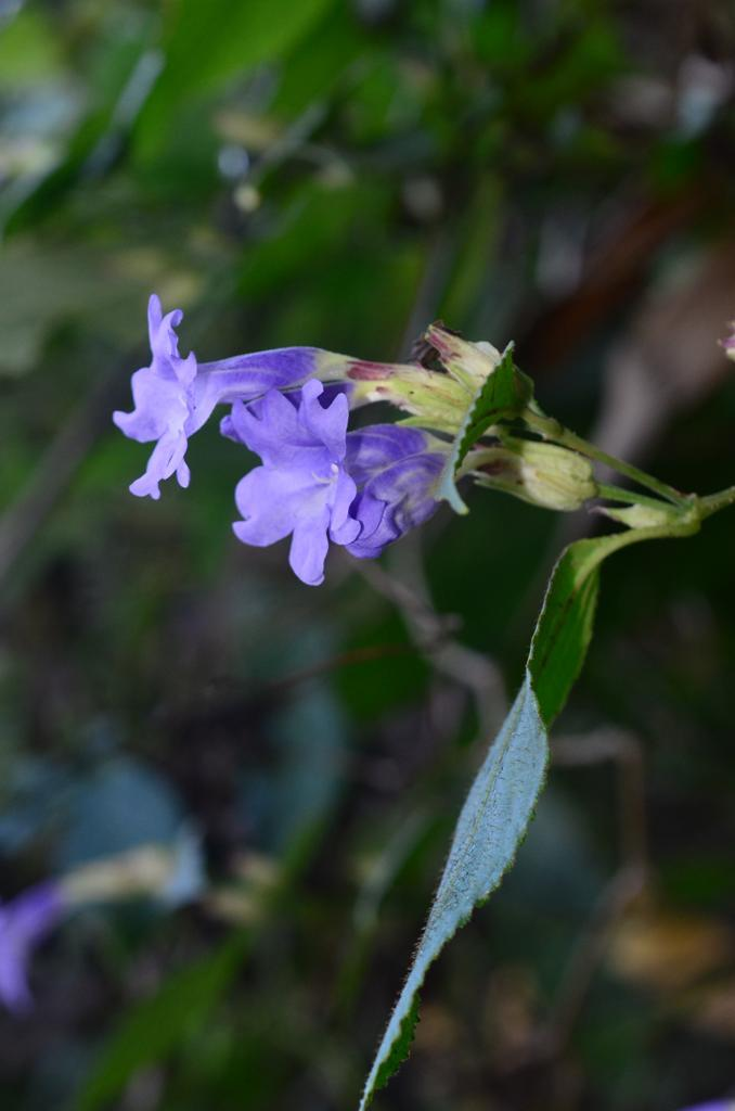 /wp-content/uploads/2020/10/Strobilanthes%20sp%20-2--5.JPG