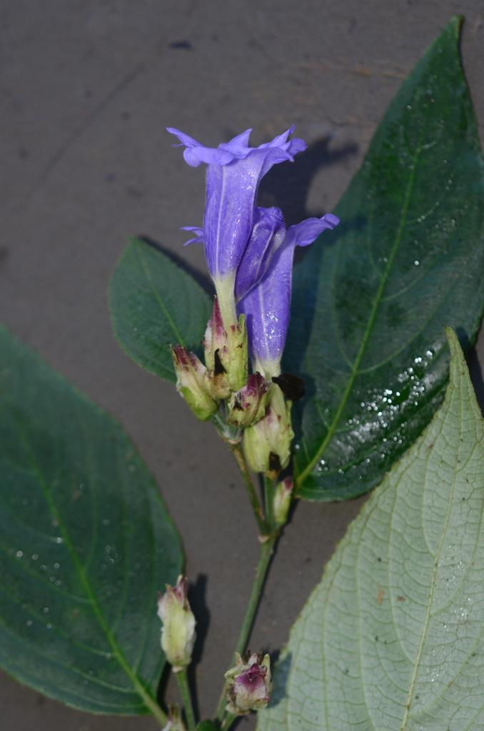 /wp-content/uploads/2020/10/Strobilanthes%20sp%20-3--8-7.JPG