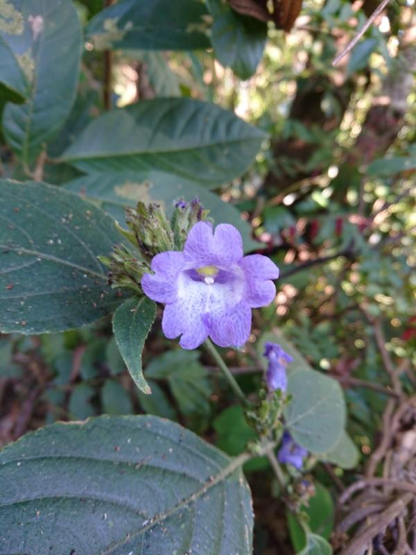 /wp-content/uploads/2020/10/Strobilanthes%20sp.%20-Tumau-%20-1-.JPG