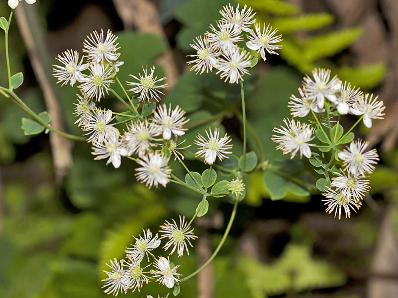 /wp-content/uploads/2020/10/Thalictrum_MG_9317s.jpg