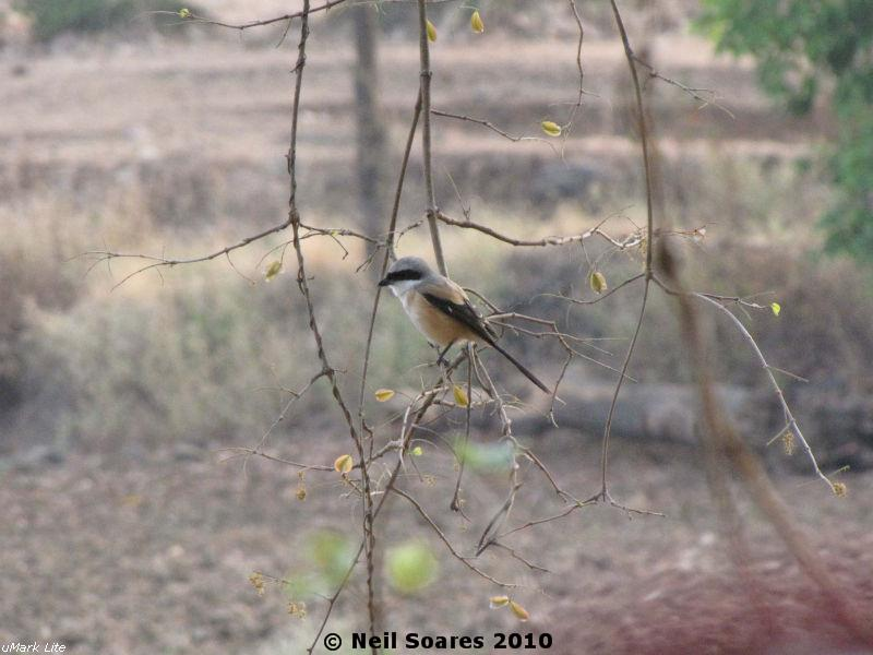 /wp-content/uploads/2020/10/The%20Butcher%20Bird%20%5Bthe%20common%20Rufous-backed%20Long-tailed%20Shrike%5D.jpg