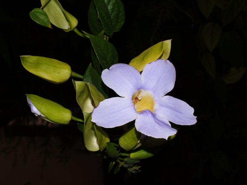 /wp-content/uploads/2020/10/Thunbergia%20grandiflora%20-2-.JPG