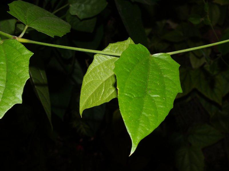 /wp-content/uploads/2020/10/Thunbergia%20grandiflora%20-3-.JPG