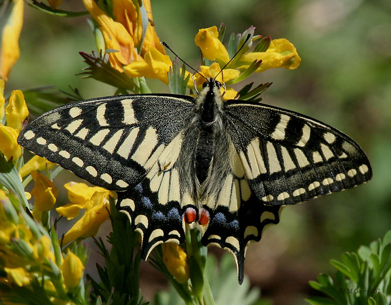 /wp-content/uploads/2020/10/Tiger%20Swallowtail%20I%20IMG_6962.jpg