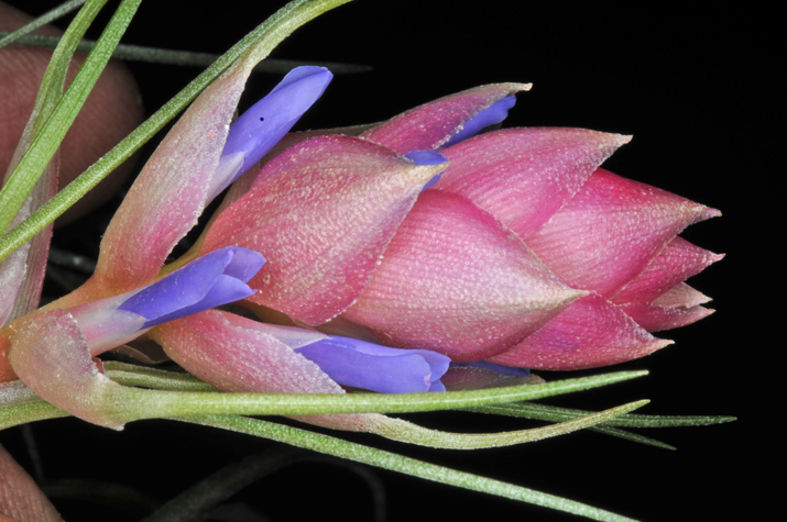 /wp-content/uploads/2020/10/Tillandsia%20Flowers.jpg