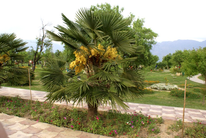 /wp-content/uploads/2020/10/Trachycarpum-fortunei-Dubia-palm-Badam-Vari-DSC03599-Kashmir-1.jpg