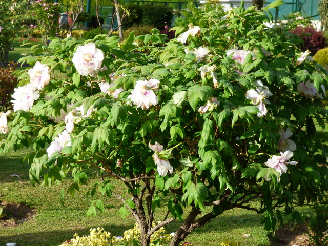 /wp-content/uploads/2020/10/Tree%20Peony-Plant%20Introduction%20Centre-Srinagar-P1110799.JPG