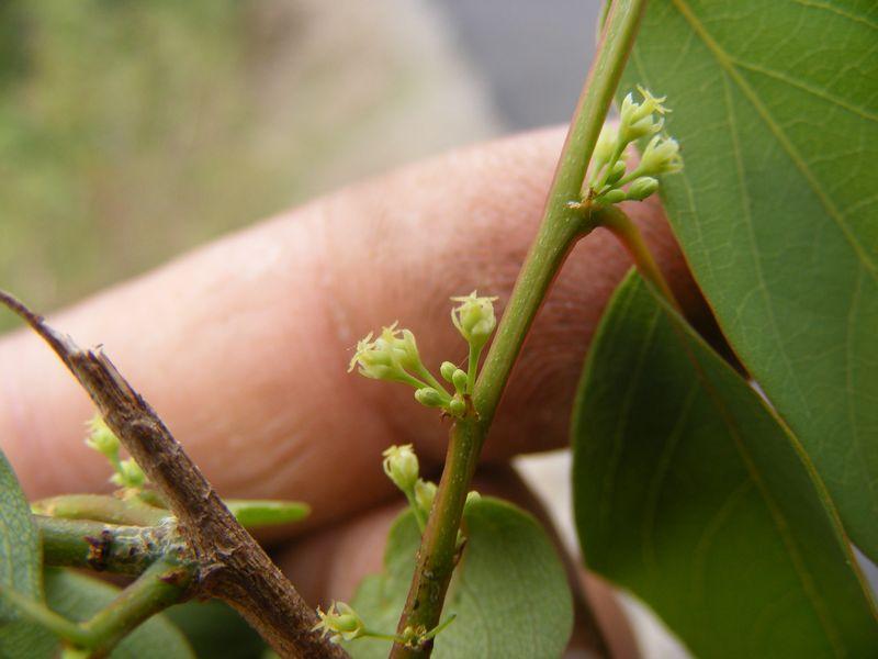 /wp-content/uploads/2020/10/Unid%20Euphorbiaceae%20JPG%20-1-.JPG