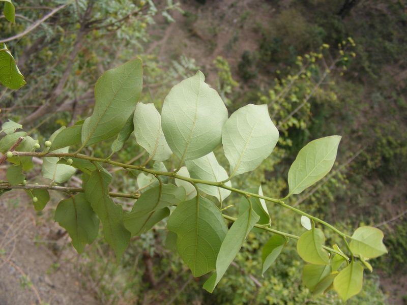 /wp-content/uploads/2020/10/Unid%20Euphorbiaceae%20JPG%20-5-.JPG