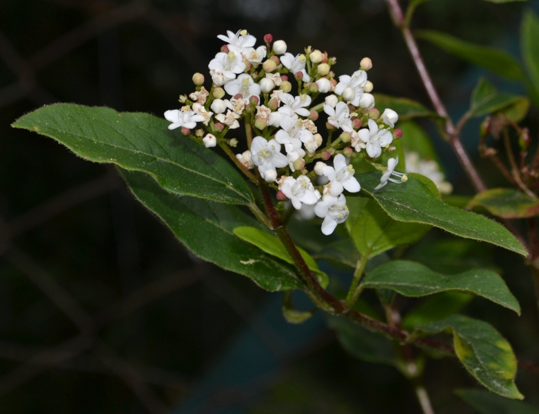 /wp-content/uploads/2020/10/Viburnum%20ornamental.JPG