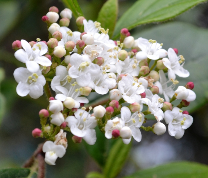 /wp-content/uploads/2020/10/Viburnum%20ornamental1.JPG