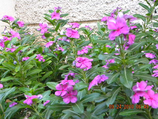 /wp-content/uploads/2020/10/Vinca%20rosea%20in%20our%20garden%20001.jpg