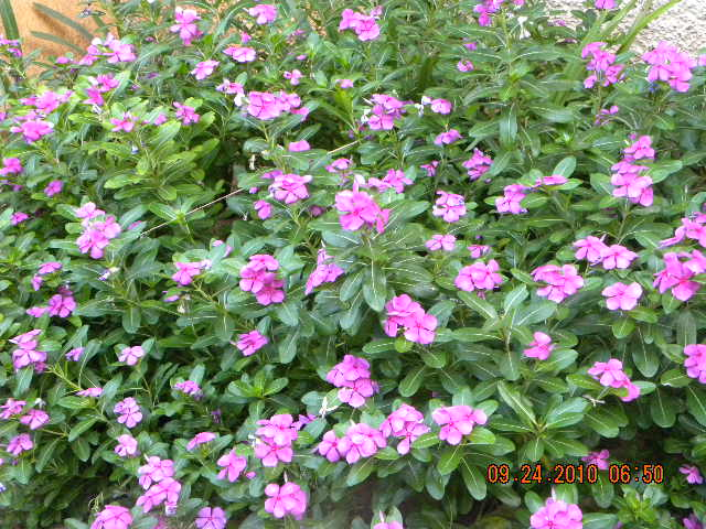 /wp-content/uploads/2020/10/Vinca%20rosea%20in%20our%20garden%20003.jpg