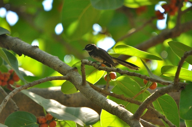 /wp-content/uploads/2020/10/White-spotted%20Fantail.jpg
