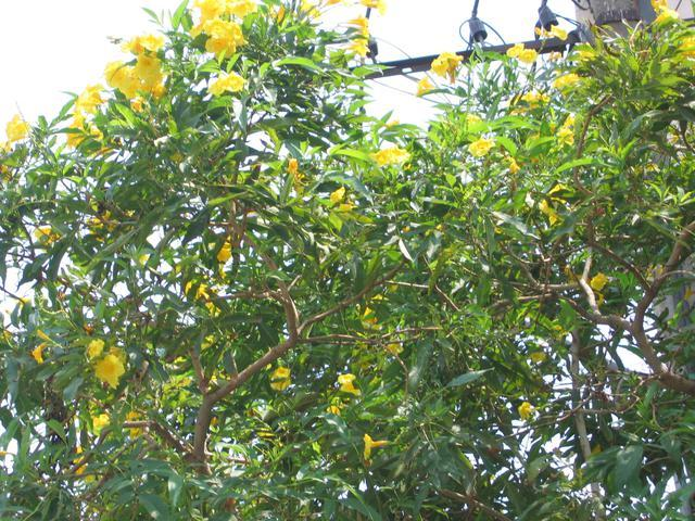 /wp-content/uploads/2020/10/Yellow%20Bells%20Tree%20-%20Canopy.jpg