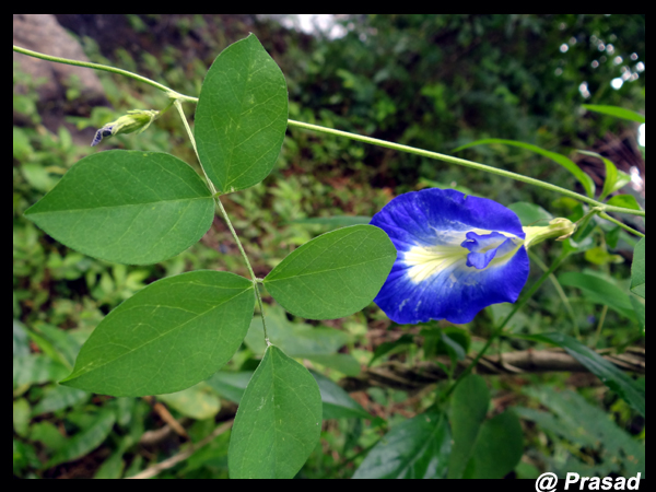 /wp-content/uploads/2020/10/clitoria%20ternatea%20leaves.jpg