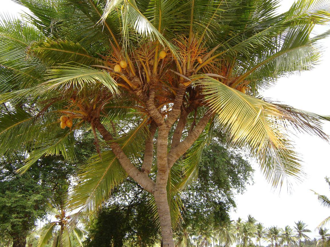 /wp-content/uploads/2020/10/coconut%20tree%20with%20braches.jpg