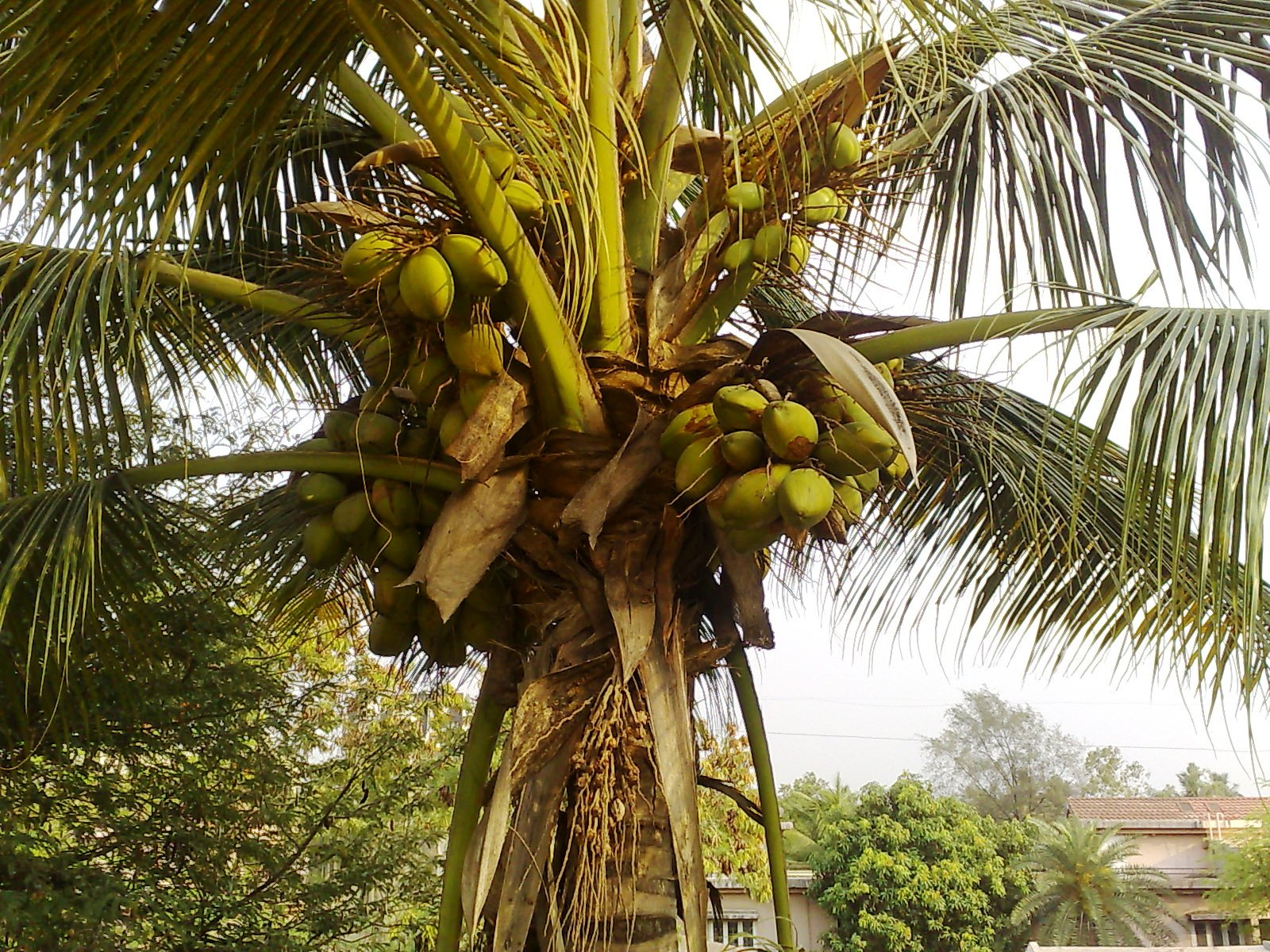 /wp-content/uploads/2020/10/coconut%20tree.jpg