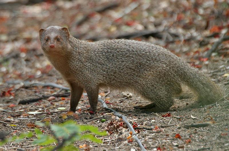 /wp-content/uploads/2020/10/indian%20mongoose.JPG