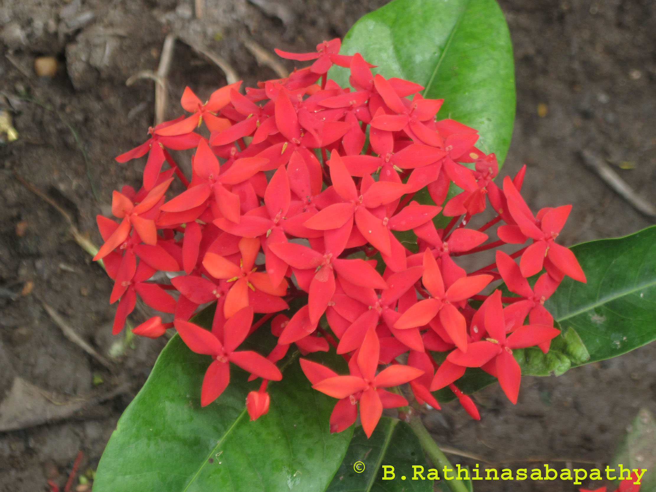/wp-content/uploads/2020/10/ixora%20flower.jpg
