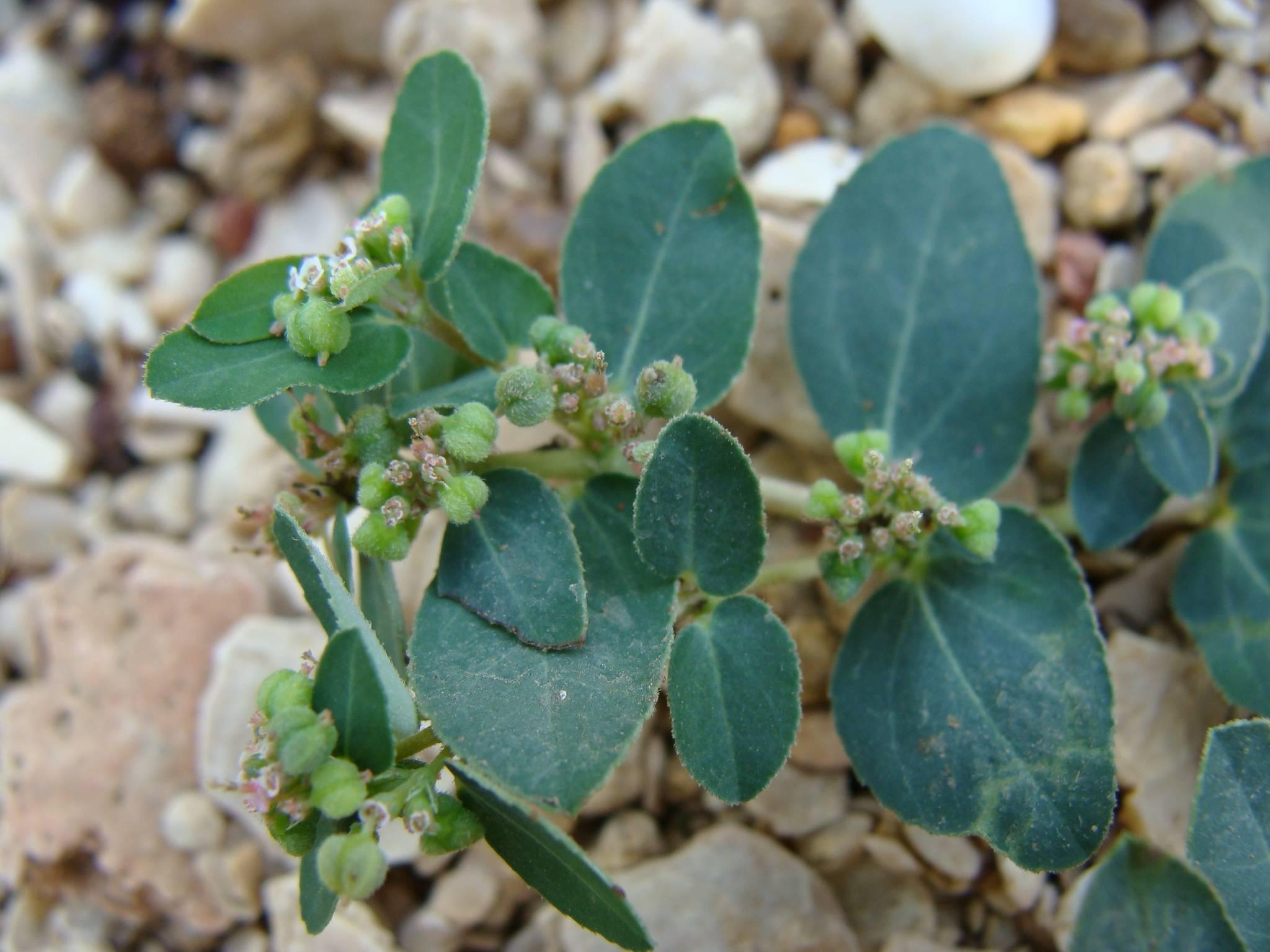 /wp-content/uploads/2020/10/kachchh_Gujarat_Euphorbiaceae%20species.jpg